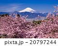 富士山と河津桜 20797244