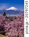 富士山と河津桜 20797245