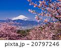富士山と河津桜 20797246