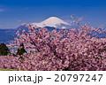 富士山と河津桜 20797247