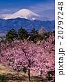 富士山と河津桜 20797248