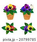 パンジーの鉢植え 20799785