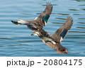 鴨 飛ぶ 鳥の写真 20804175