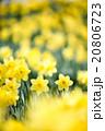 早春満開のスイセン 20806723