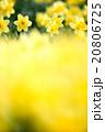 早春満開のスイセン 20806725