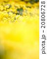 早春満開のスイセン 20806728