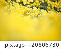 早春満開のスイセン 20806730