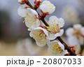 梅 咲く 花の写真 20807033