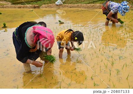 ベトナム北部 バクハ 田植えをする花モン族の家族 20807133