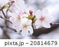 染井吉野の蕾と花びら 20814679