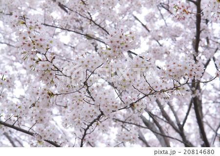 桜の木 20814680