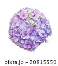 Purple Hydrangea Flower 20815550