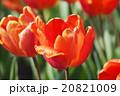 美しいチューリップ 20821009