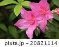 花 アザレア ツツジ科の写真 20821114