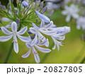アガパンサス ユリ科 紫君子蘭の写真 20827805