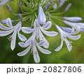 アガパンサス ユリ科 紫君子蘭の写真 20827806