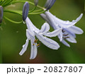 アガパンサス ユリ科 紫君子蘭の写真 20827807