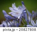 アガパンサス ユリ科 紫君子蘭の写真 20827808