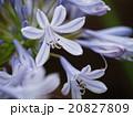 アガパンサス ユリ科 紫君子蘭の写真 20827809
