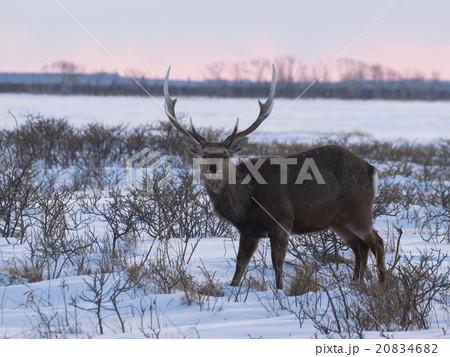 こちらを見据える牡鹿(夕方) 20834682