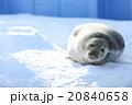 雪上のゴマフアザラシ 20840658
