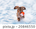 funny dog dachshund  jumps up in winter park 20846550