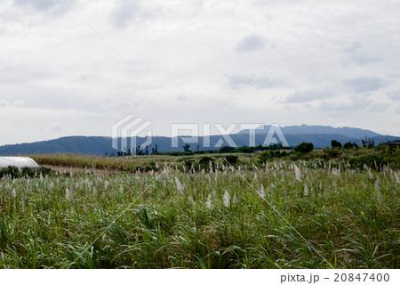 冬の沖縄観光/古宇利島のサトウキビ畑 20847400