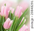 ピンク ピンク色 桃色の写真 20848291