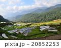 ベトナム サパ 棚田の写真 20852253