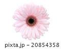 ガーベラ 花 植物の写真 20854358