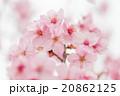桜 20862125