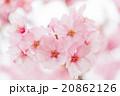 桜 20862126