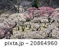 梅園 梅 薬師池公園の写真 20864960
