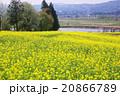 菜の花と千曲川 20866789