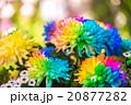 花 菊科 キクの写真 20877282