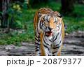 動物 ほ乳類 哺乳類の写真 20879377