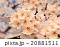 満開の桜(アップ) 20881511