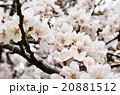 満開の桜(アップ) 20881512