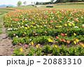 淡路島・花さじきに咲くポピー 20883310