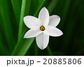 花 イフェイオン ベツレヘムの星の写真 20885806