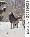 シンリンオオカミ 旭山動物園 遠吠えの写真 20889638