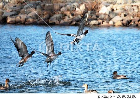 勢いよく水面から飛び立つ水鳥 20900286