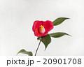 椿 花 一輪の写真 20901708