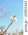 桜の開花 白 ピンク 桃色 青空 快晴 20902402
