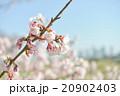 桜の開花 白 ピンク 桃色 青空 快晴 20902403