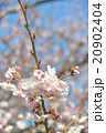 桜の開花 白 ピンク 桃色 青空 快晴 20902404