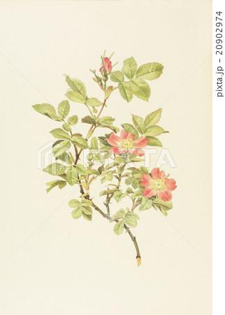 """アンティークイラスト「バラ」Alfred Parsons""""The Genus Rosa"""",1914のイラスト素材 [20902974] - PIXTA"""