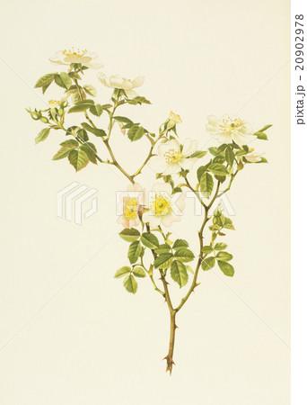 """アンティークイラスト「バラ」Alfred Parsons""""The Genus Rosa"""",1914のイラスト素材 [20902978] - PIXTA"""