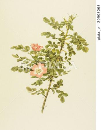 """アンティークイラスト「バラ」Alfred Parsons""""The Genus Rosa"""",1914のイラスト素材 [20903063] - PIXTA"""