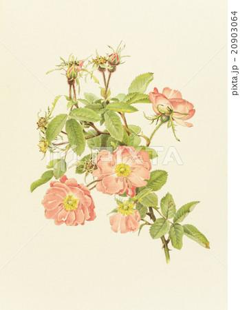"""アンティークイラスト「バラ」Alfred Parsons""""The Genus Rosa"""",1914のイラスト素材 [20903064] - PIXTA"""